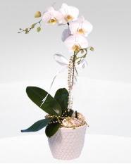 1 dallı orkide saksı çiçeği  Muş online çiçekçi , çiçek siparişi