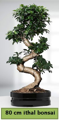 80 cm özel saksıda bonsai bitkisi  Muş çiçekçi telefonları