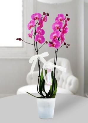 Çift dallı mor orkide  Muş çiçekçiler