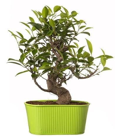 Ficus S gövdeli muhteşem bonsai  Muş çiçek siparişi sitesi