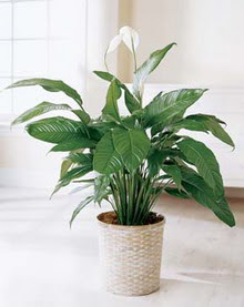 Muş online çiçek gönderme sipariş  spatilyum ithal büyük boy
