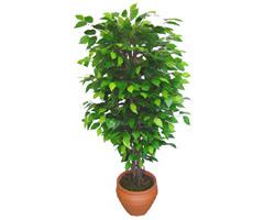 Ficus Benjamin 1,50 cm   Muş anneler günü çiçek yolla
