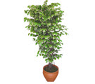 Ficus özel Starlight 1,75 cm   Muş cicek , cicekci