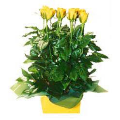 11 adet sari gül aranjmani  Muş online çiçekçi , çiçek siparişi