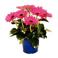 vazo içerisinde gerbera çiçekleri   Muş online çiçek gönderme sipariş