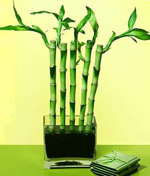 Muş anneler günü çiçek yolla  Good Harmony Lucky Bamboo camda