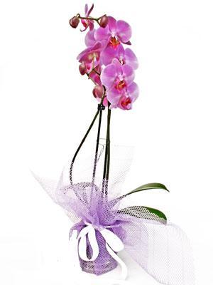 Muş anneler günü çiçek yolla  Kaliteli ithal saksida orkide