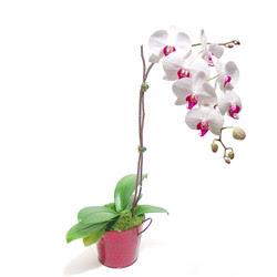 Muş çiçek gönderme  Saksida orkide