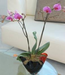 Muş çiçekçi mağazası  tek dal ikili orkide saksi çiçegi