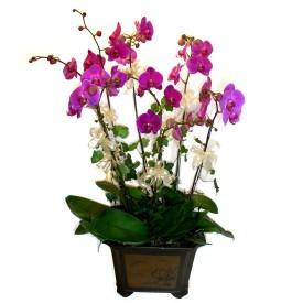 Muş cicek , cicekci  4 adet orkide çiçegi