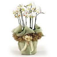 Muş çiçek siparişi sitesi  3 dal orkide , saksi çiçegi , 3 kök orkide
