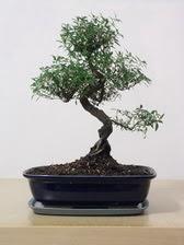 ithal bonsai saksi çiçegi  Muş çiçek siparişi vermek