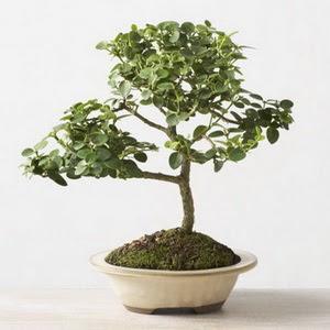 ithal bonsai saksi çiçegi  Muş çiçek online çiçek siparişi