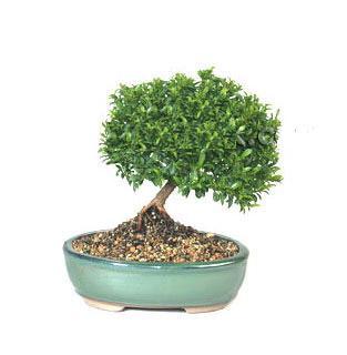 ithal bonsai saksi çiçegi  Muş cicekciler , cicek siparisi