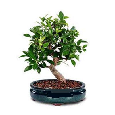 ithal bonsai saksi çiçegi  Muş çiçek siparişi sitesi