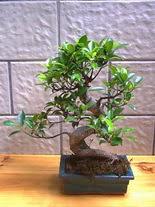 ithal bonsai saksi çiçegi  Muş hediye sevgilime hediye çiçek