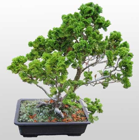 ithal bonsai saksi çiçegi  Muş İnternetten çiçek siparişi