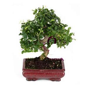 ithal bonsai saksi çiçegi  Muş anneler günü çiçek yolla
