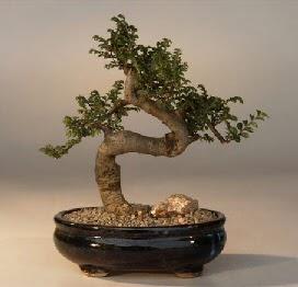 ithal bonsai saksi çiçegi  Muş 14 şubat sevgililer günü çiçek