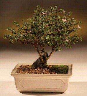 ithal bonsai saksi çiçegi  Muş çiçek mağazası , çiçekçi adresleri