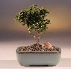 Muş çiçek yolla  ithal bonsai saksi çiçegi  Muş internetten çiçek satışı