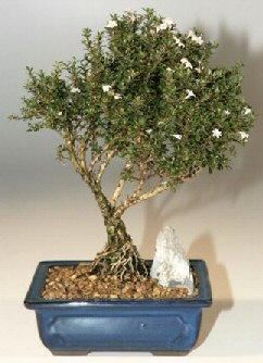 Muş çiçek , çiçekçi , çiçekçilik  ithal bonsai saksi çiçegi  Muş online çiçek gönderme sipariş