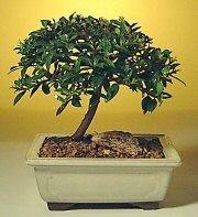 Muş ucuz çiçek gönder  ithal bonsai saksi çiçegi  Muş cicek , cicekci