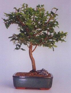 Muş ucuz çiçek gönder  ithal bonsai saksi çiçegi  Muş anneler günü çiçek yolla
