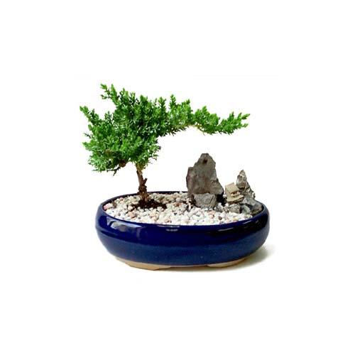 ithal bonsai saksi çiçegi  Muş çiçek gönderme