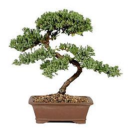 ithal bonsai saksi çiçegi  Muş çiçek gönderme sitemiz güvenlidir