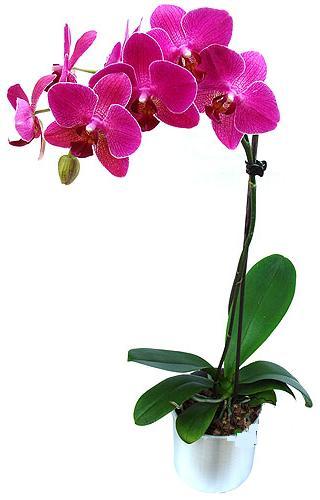 Muş çiçekçi mağazası  saksi orkide çiçegi