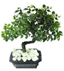 9 yasinda Bonsai agaci  Muş yurtiçi ve yurtdışı çiçek siparişi