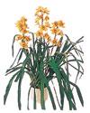 Muş çiçekçiler  Orchiede ithal büyük boy saksi