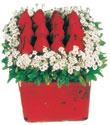 Muş çiçek gönderme  Kare cam yada mika içinde kirmizi güller - anneler günü seçimi özel çiçek