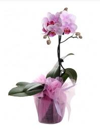 1 dal pembe orkide saksı çiçeği  Muş kaliteli taze ve ucuz çiçekler