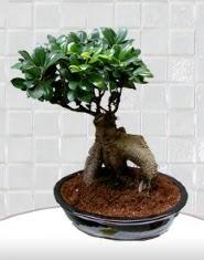 saksı çiçeği japon ağacı bonsai  Muş kaliteli taze ve ucuz çiçekler