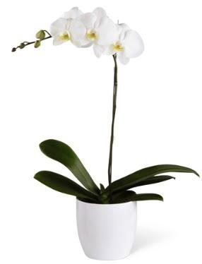 1 dallı beyaz orkide  Muş 14 şubat sevgililer günü çiçek