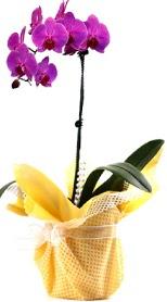 Muş çiçek siparişi sitesi  Tek dal mor orkide saksı çiçeği