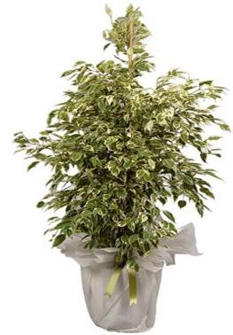 Orta boy alaca benjamin bitkisi  Muş internetten çiçek satışı