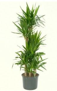 7 li yucca saksı bitkisi  Muş çiçek servisi , çiçekçi adresleri