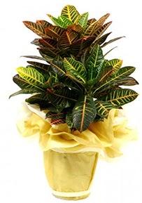 Orta boy kraton saksı çiçeği  Muş 14 şubat sevgililer günü çiçek