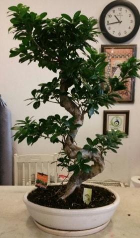 100 cm yüksekliğinde dev bonsai japon ağacı  Muş İnternetten çiçek siparişi