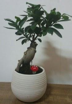 Bonsai japon ağacı saksı çiçeği  Muş çiçek gönderme sitemiz güvenlidir