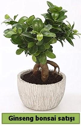 Ginseng bonsai japon ağacı satışı  Muş çiçekçi telefonları