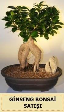 İthal Ginseng bonsai satışı japon ağacı  Muş çiçek siparişi sitesi