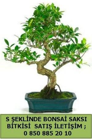 İthal S şeklinde dal eğriliği bonsai satışı  Muş çiçek gönderme