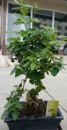 Bonsai japon ağacı saksı bitkisi  Muş çiçek siparişi vermek
