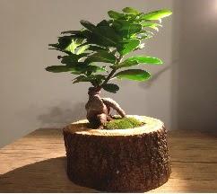 Doğal kütükte Bonsai japon ağacı satışı  Muş internetten çiçek satışı