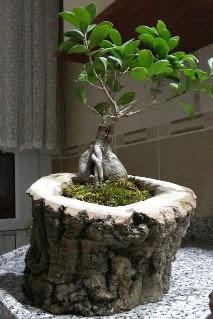 Ahşap kütük içerisinde ginseng bonsai  Muş internetten çiçek siparişi