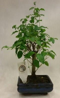 Minyatür bonsai japon ağacı satışı  Muş çiçekçi telefonları